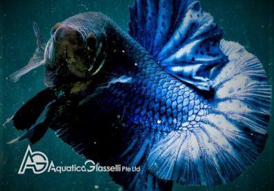 Aquatica Glasselli P...