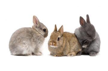 Rabbit Grooming 101