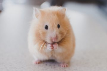 5 Of The Most Common Hamster Illnesses and Diseases
