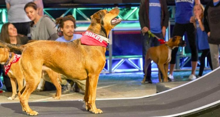 The Doggie Warped Wall and How to be a Dog Ninja Warrior