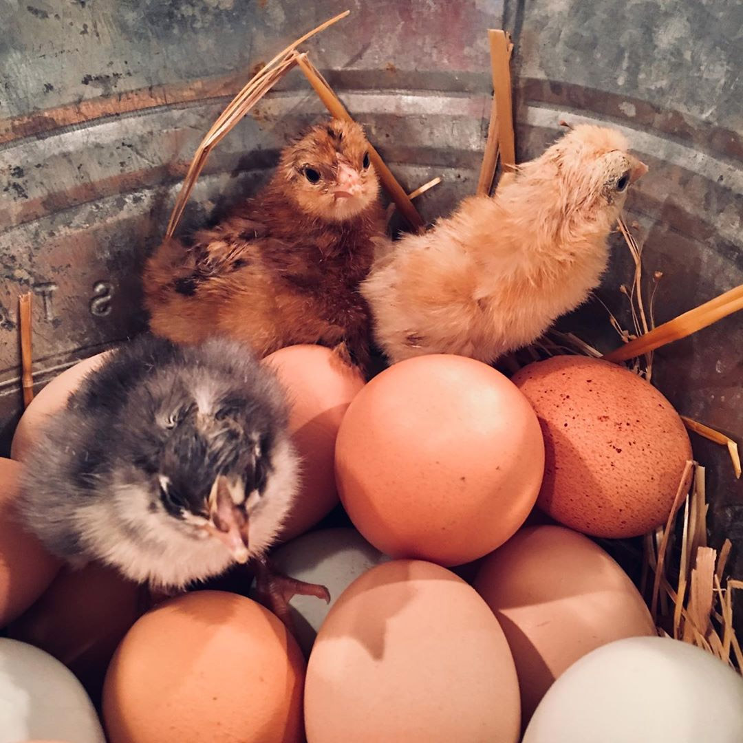 All You Need to Know About Rearing Chicken in Singapore