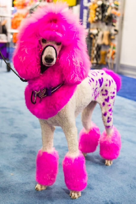 Colour Them Not: The Danger of Pet Dyes