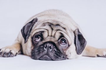 Dog Breeds 101: Things a Brachycephalic Breed Owner Needs to Know