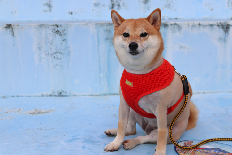 Harnesses VS. Collars: Which Is Better?