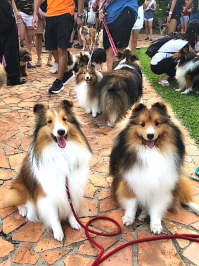 Largest Gathering of Shetland Sheepdogs Makes Singapore Book of Records