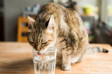 4 Ways To Keep Your Cat Hydrated