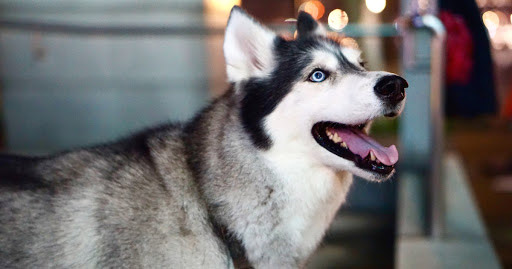 How to Care for A Husky in Tropical Singapore