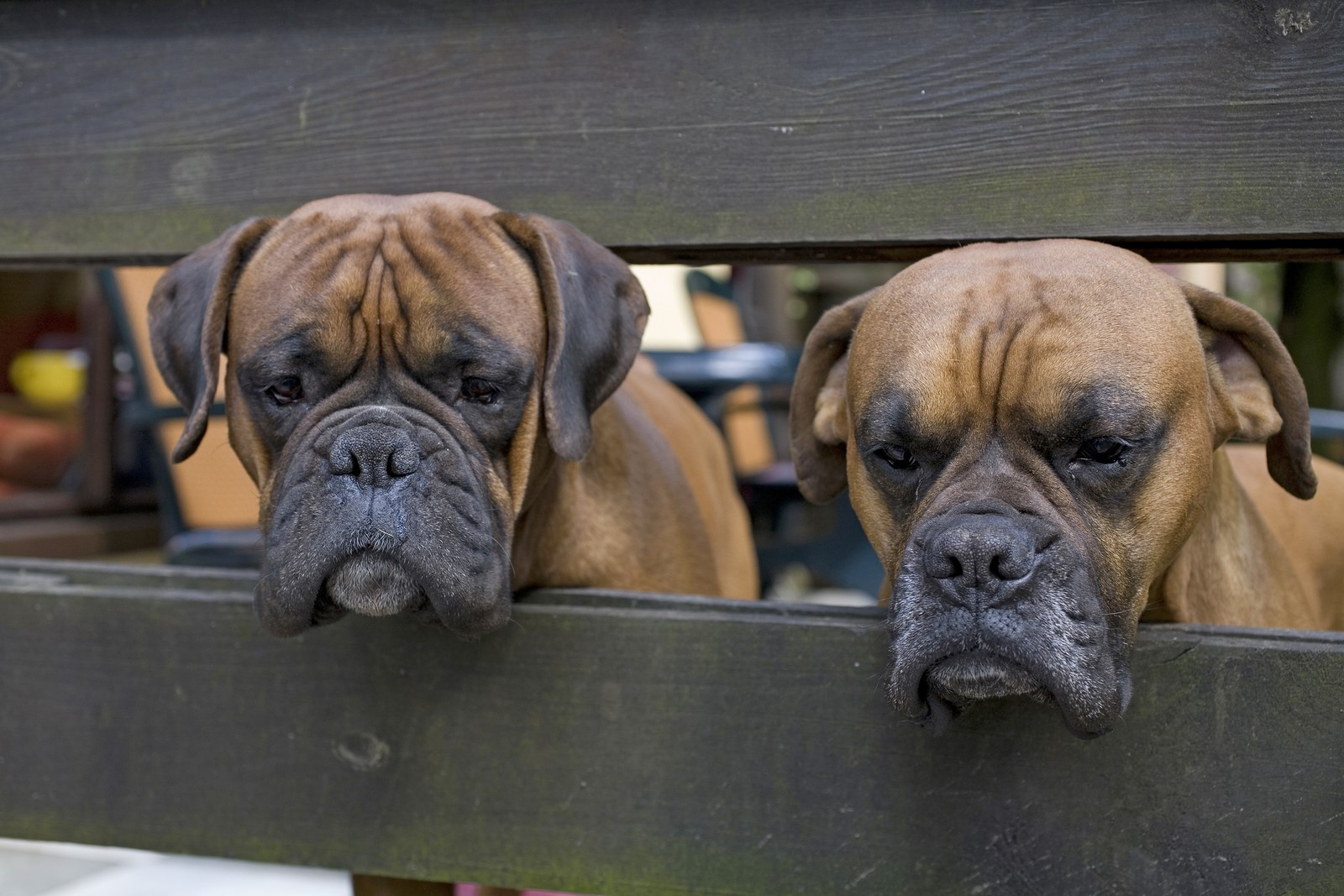 Inbreeding in Dogs: Why It Happens & Why It's Bad