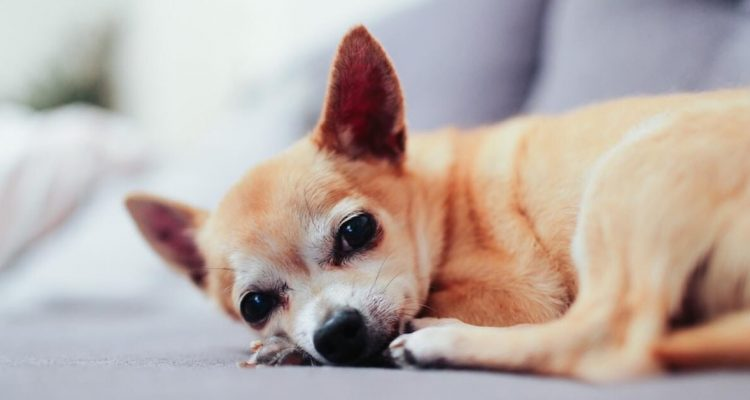 Old-Age in Dogs: What It Really Means & Care Tips