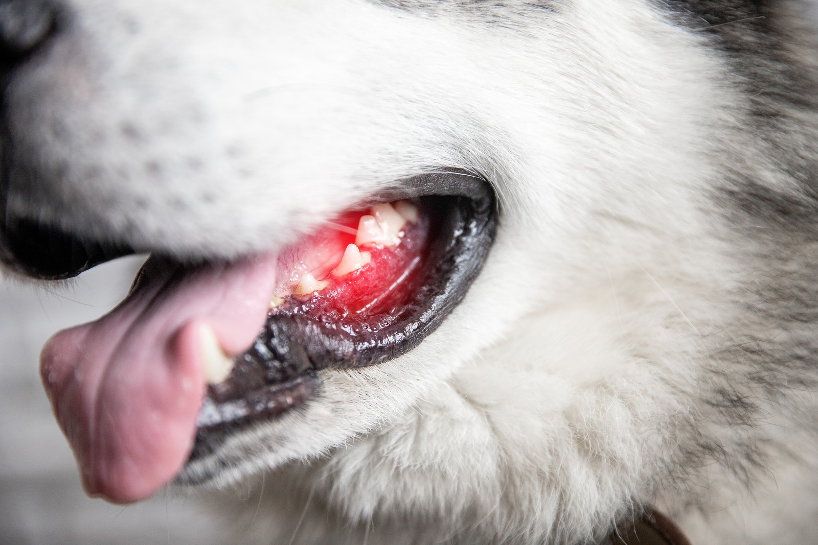 What Does The Colour of Your Dog's Gums Say About Its Health?