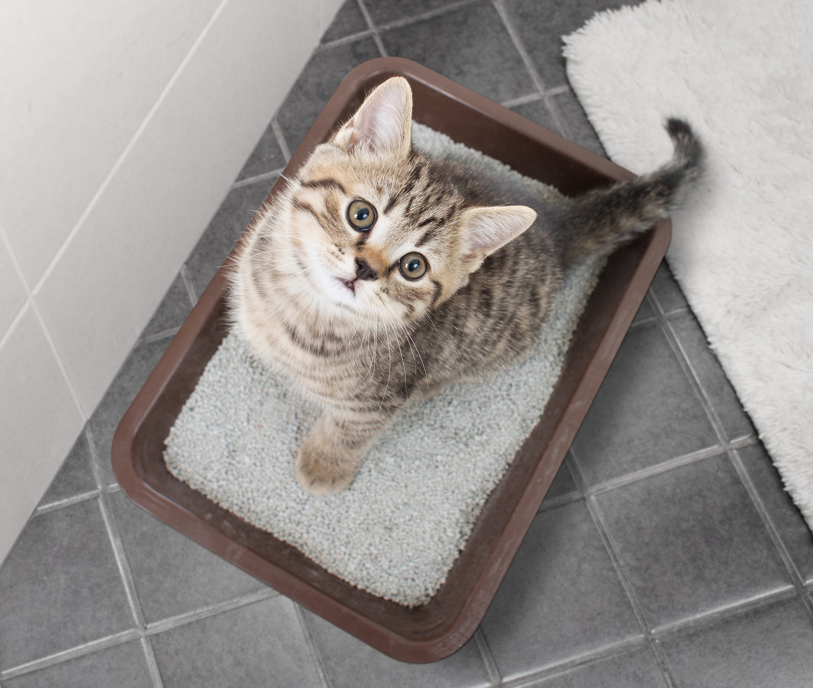 5 Tips on How to Litter Train Your Cat