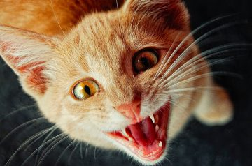 Cat Meows: What is Your Feline Friend Trying to Tell You?