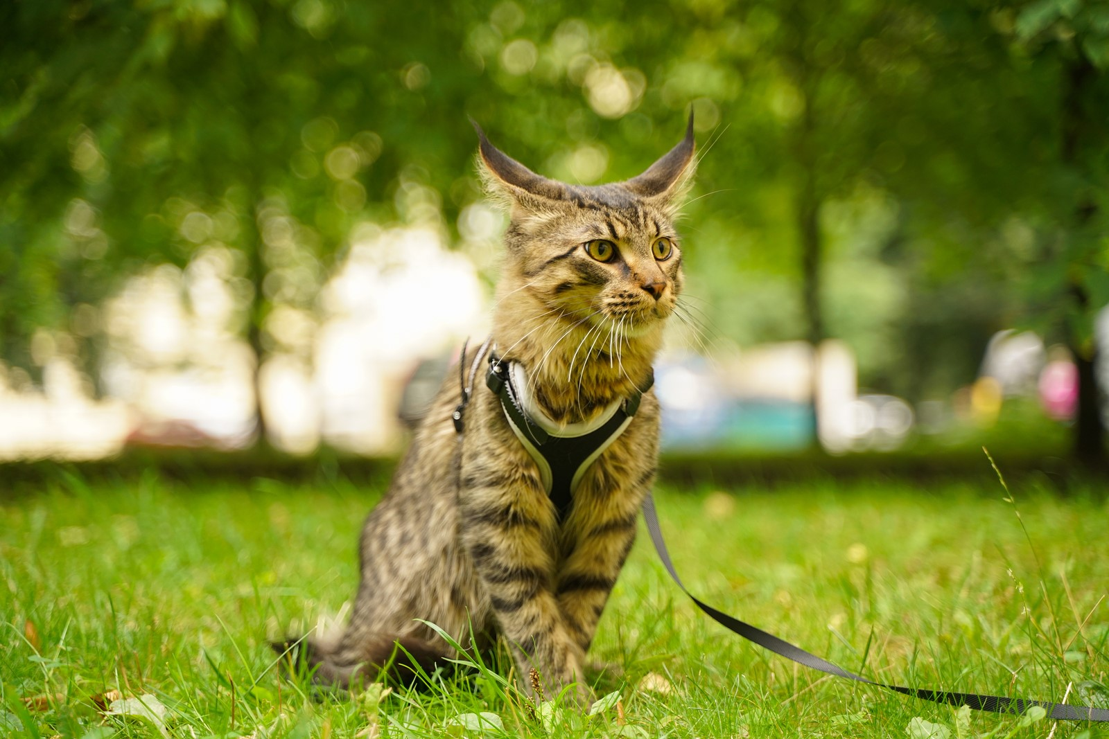 The Complete Guide For Leash Training Your Feline