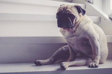 Osteoarthritis in Dogs: Does Your Dog Have Difficulties Walking?