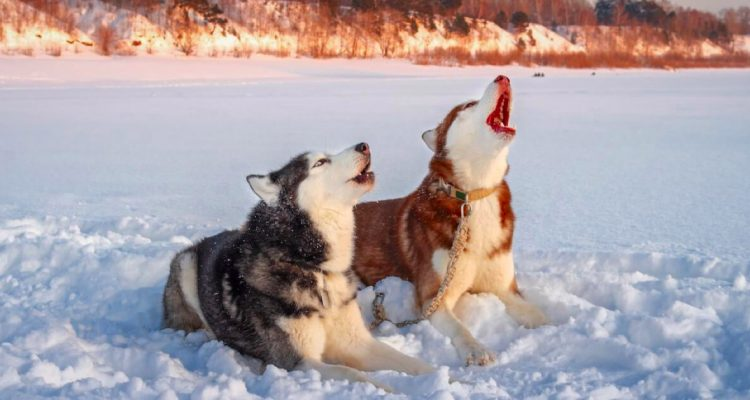 5 Interesting Reasons Why Your Dog is Howling