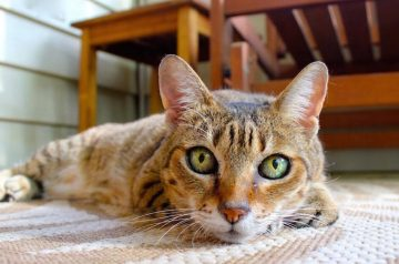 5 Tell-tale Signs of Ear Issues in Cats