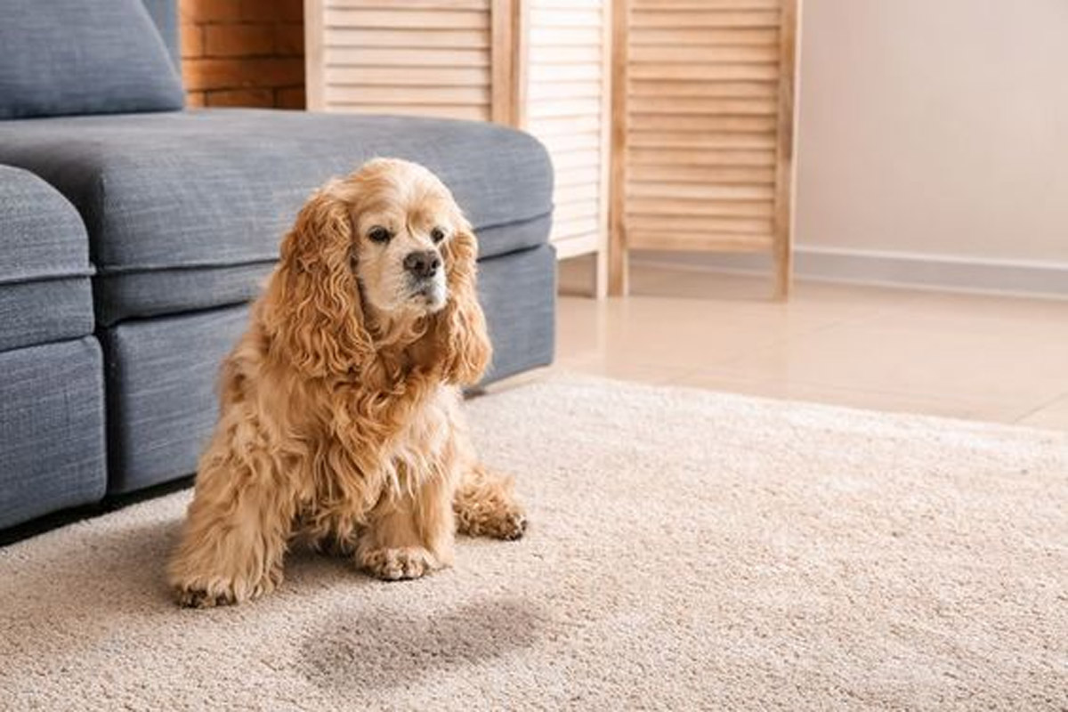 Can You Retrain A Dog to Use the Toilet Indoors?