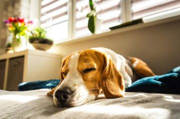 Does Your Dog Have Osteoarthritis?