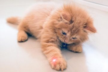 Why do Cats Love Chasing Laser Pointers?