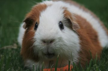 5 Factors To Ensure A Nutritious Diet For Your Guinea Pig