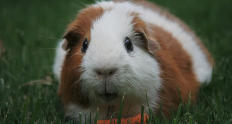 5 Factors To Ensure A Nutritious Diet For Your Guinea Pig
