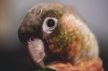 6 Best Talking Parrots That Are Perfect As Household Pets