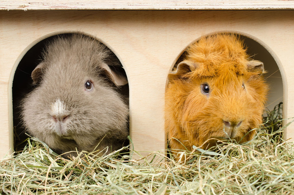 5 Tips To Finding The Perfect Home For Your Guinea Pig