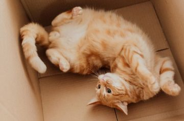 Understanding Felines: Why Do Cats Love Cardboard Boxes?