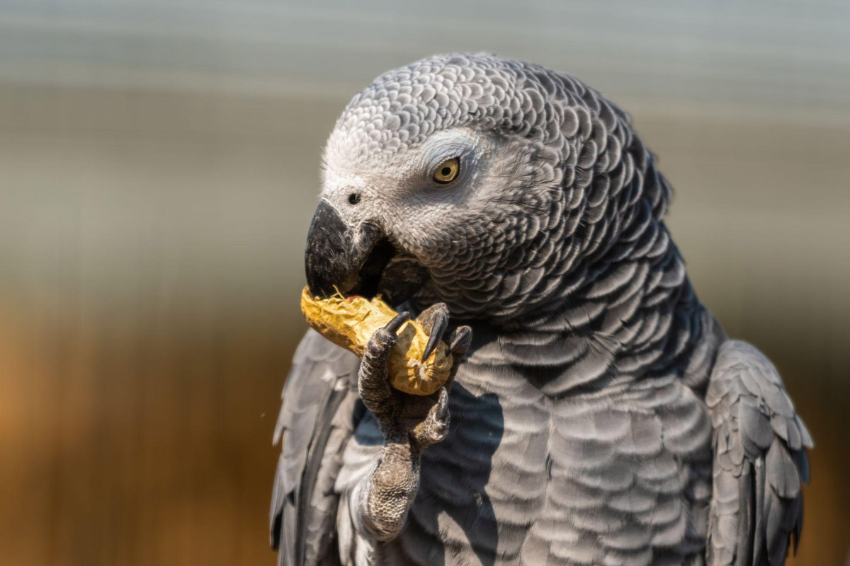 Why African Greys Are Underrated Bird Companions