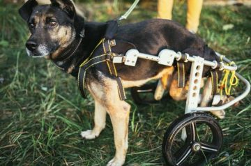 Canine Training 101: 4 Crucial Tips For A Handicapped Dog